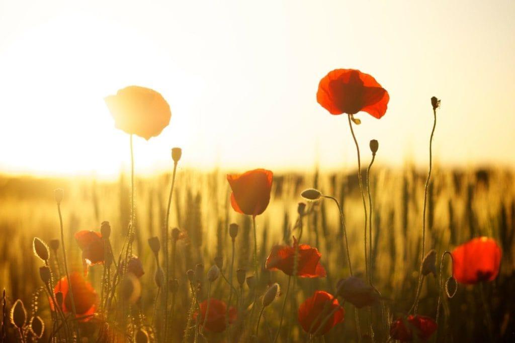 Klaprozen in het veld bij de zonsopkomst