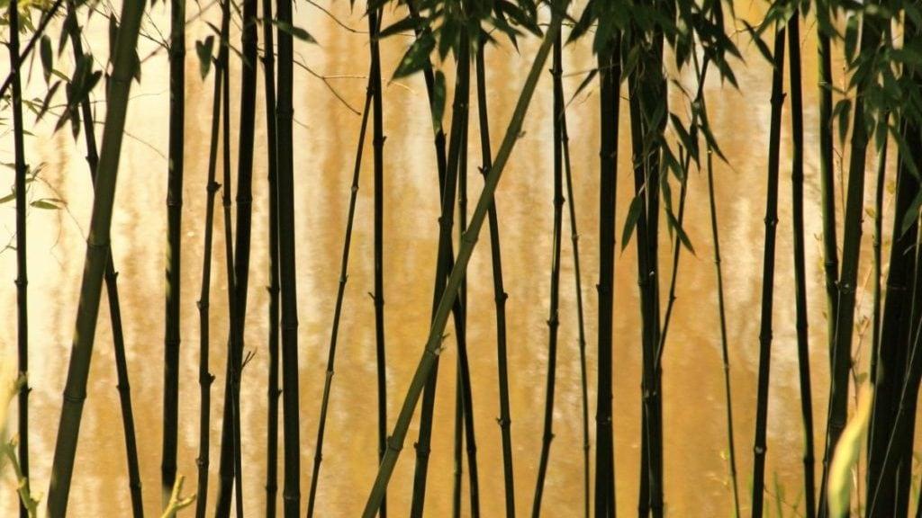 bamboebos, vooraanzicht