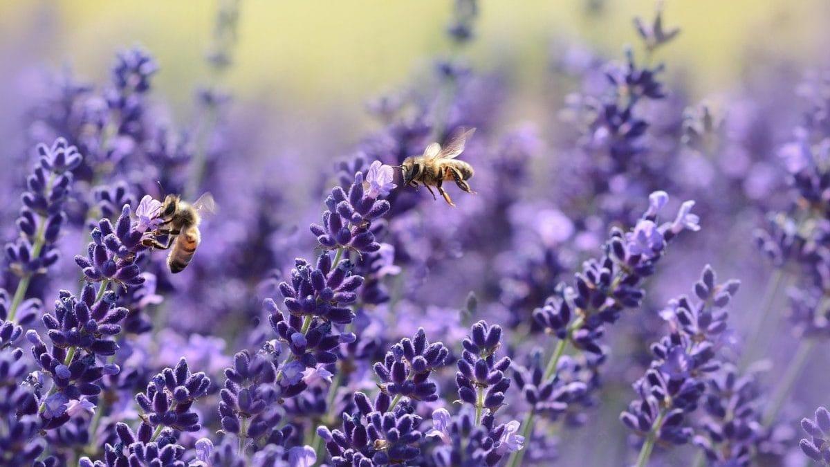 Lavendel met bijen