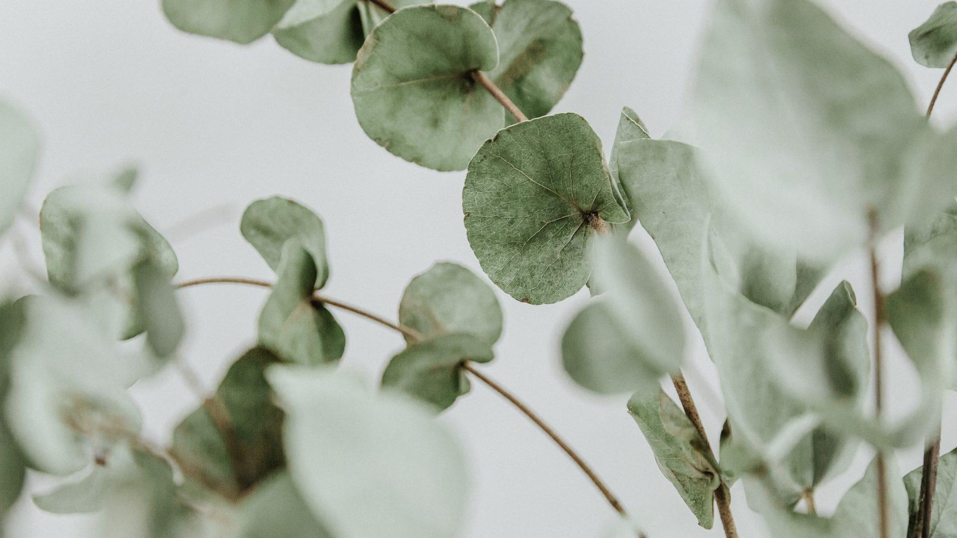 Eucalyptustakken vooraanzicht