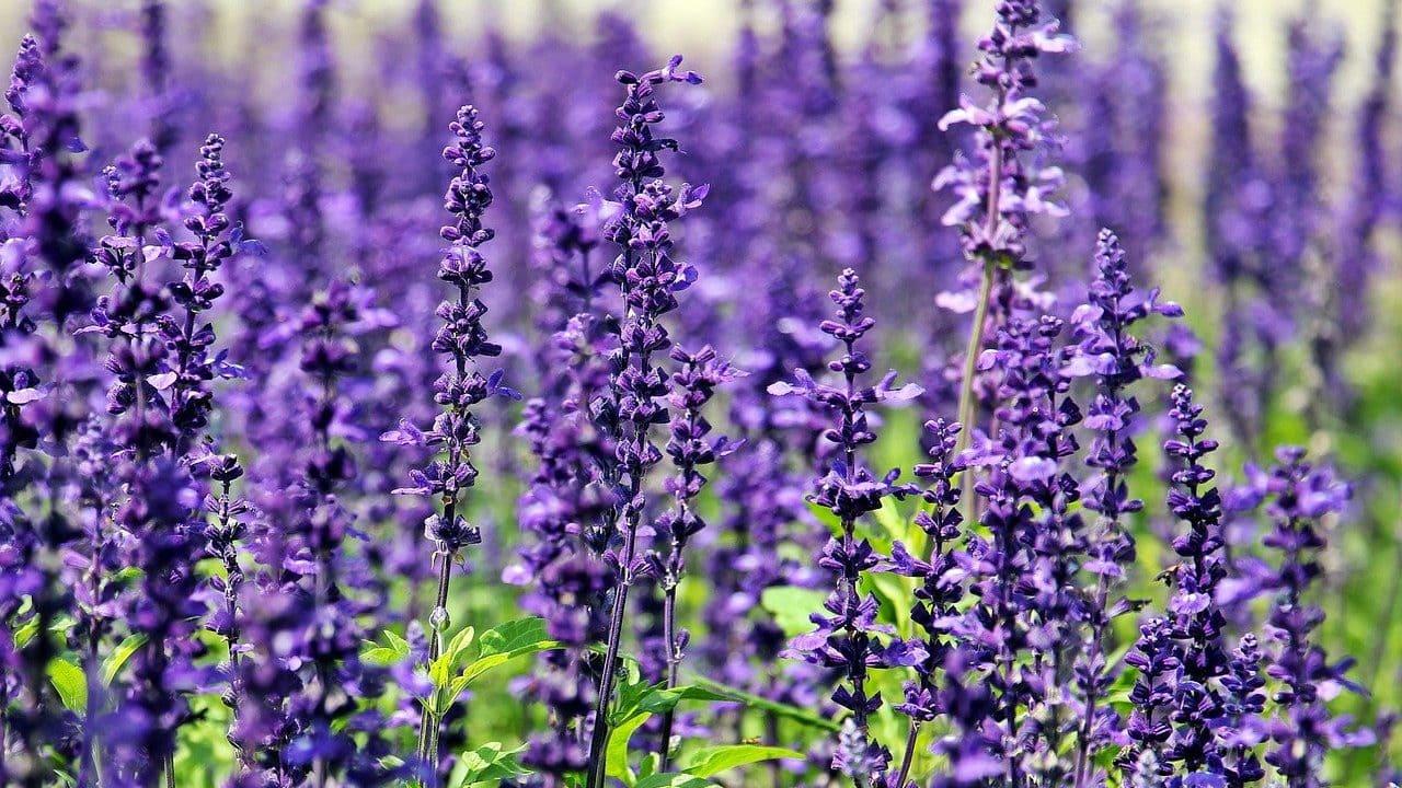 Lavendel in een veld
