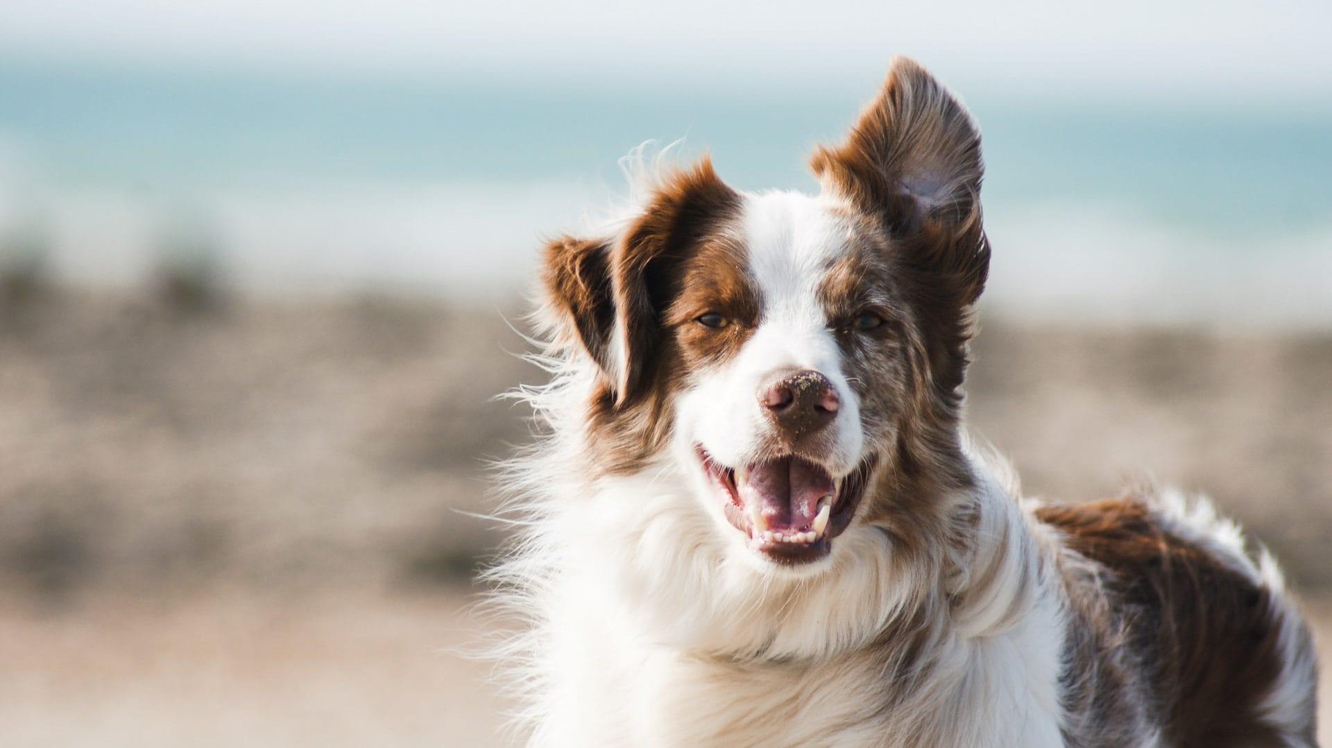 Hond met oortje omhoog en bek open, Vooraanzicht