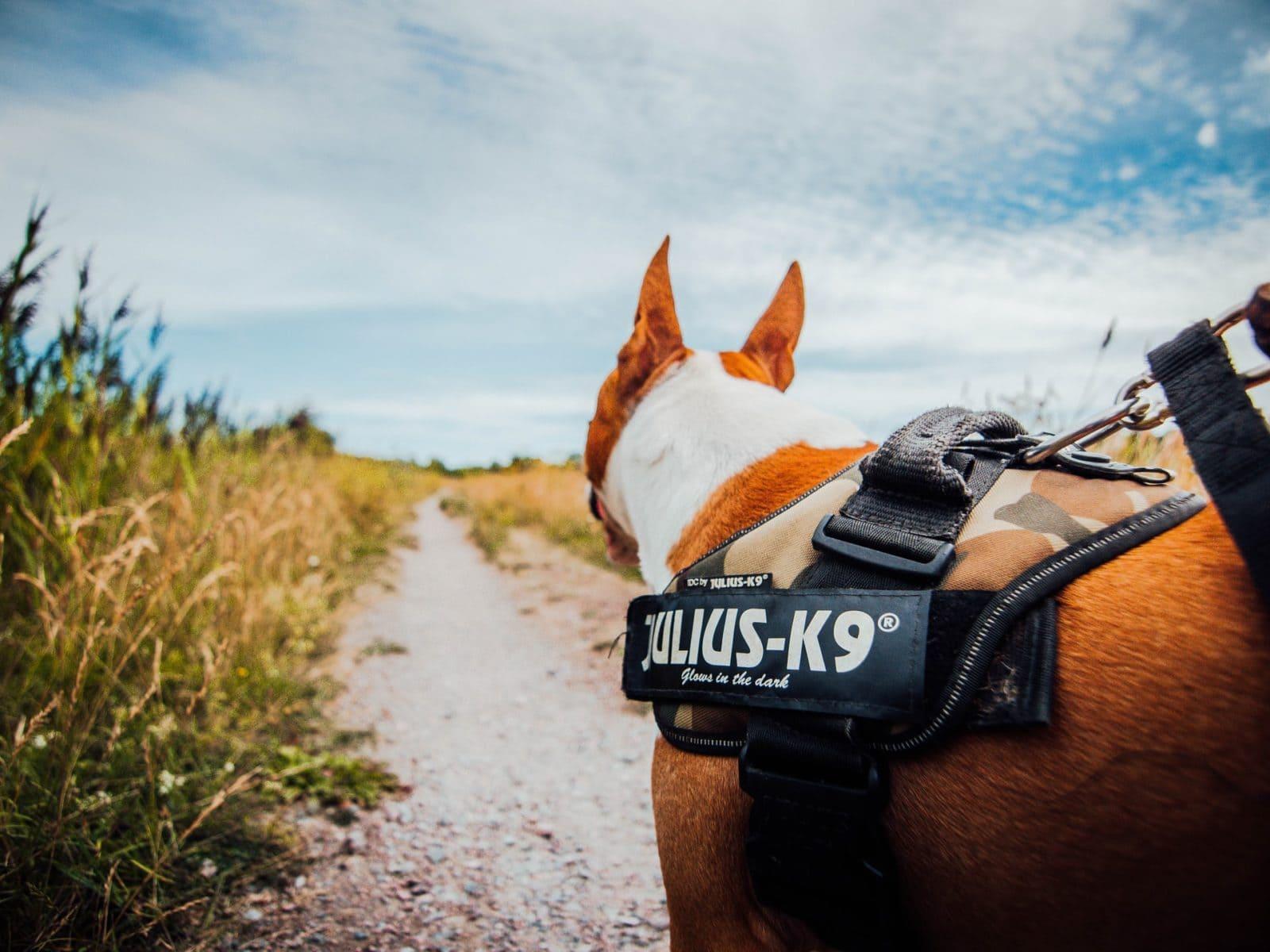 Hond met tuig aan op het platteland, achterzijde