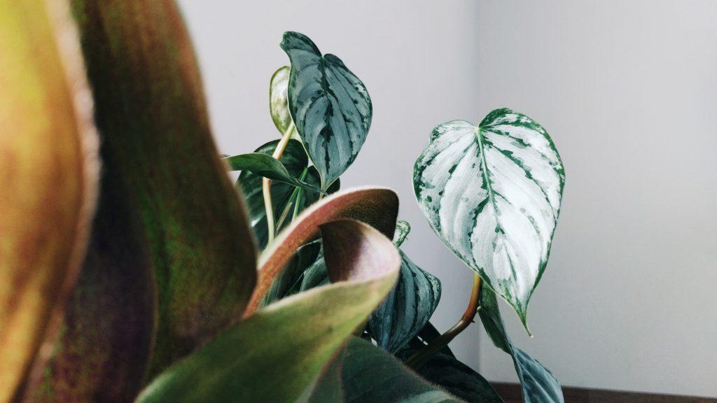 Philodendronplant, vooraanzicht