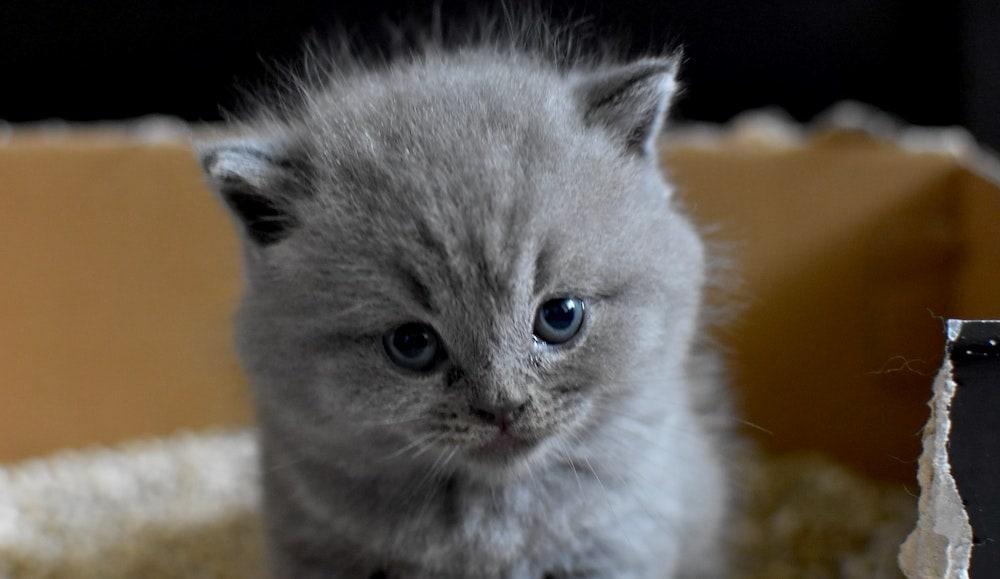 grijze kitten in doos