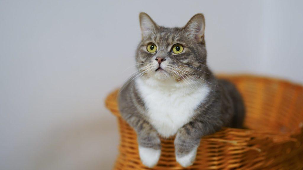 grijs met witte kat in mandje
