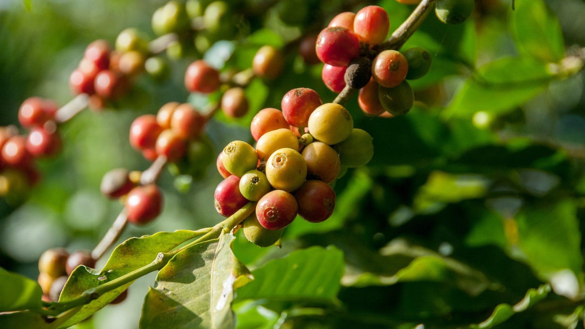 Koffieplant met rode en gele vruchten, vooraanzicht.
