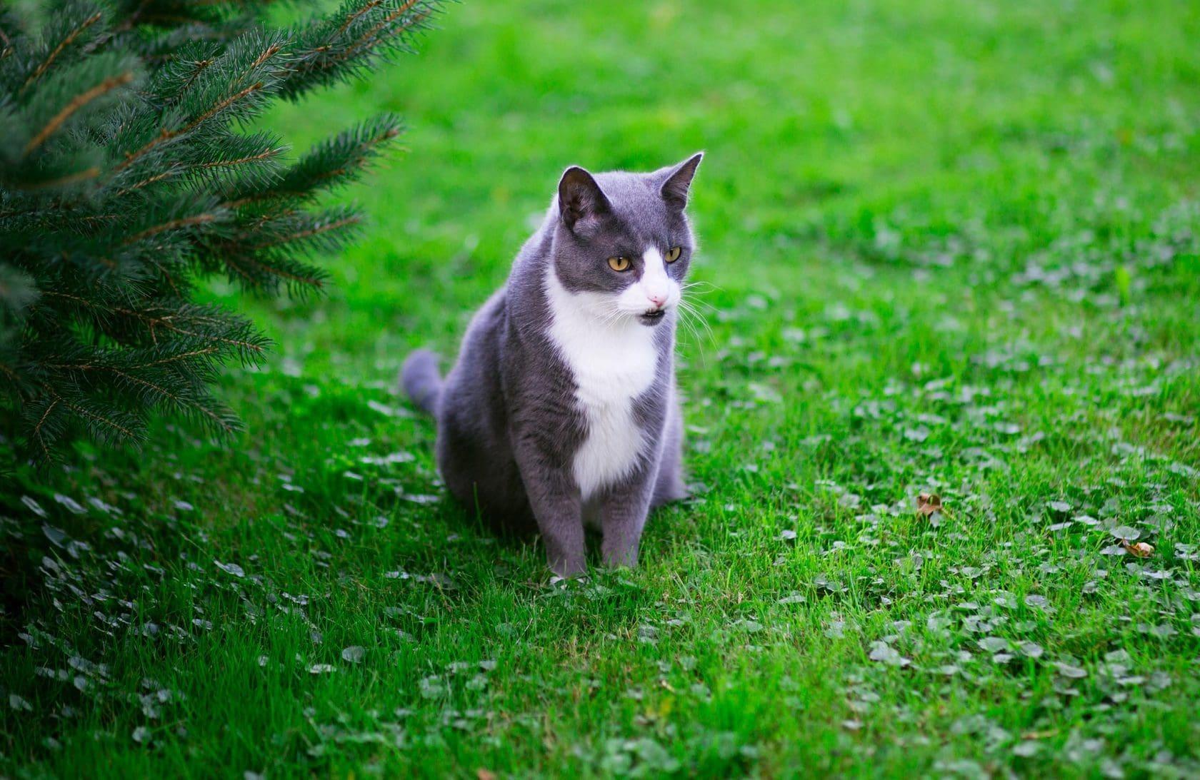 Grijs met witte kat in de tuin, op het gras. Vooraanzicht