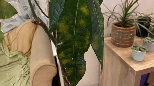 Geldboom met vervormd blad met gele plekken
