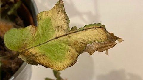Blaadje van plant met gele randjes, vooraanzicht