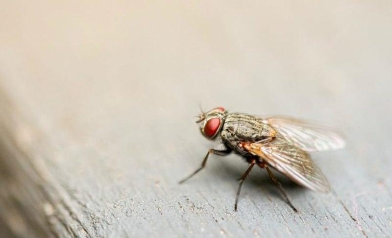 Vlieg, zij-aanzicht