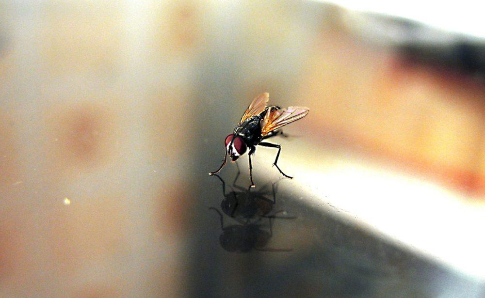 Huisvlieg op gladde ondergrond, zij-aanzicht