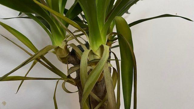 Yucca plant, vooraanzicht. Gele blaadjes onder